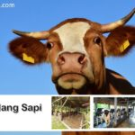Kandang Sapi Ideal